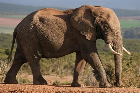 big ear: Large African elephant with big tusks walking