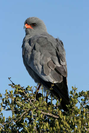 Pale Chanting Goshawk perched on top of a tree photo
