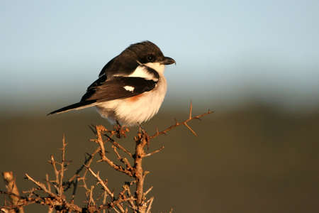 fiscal: Female Fiscal Shrike perched on top of a tree in Africa