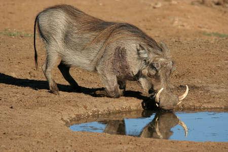 pozo de agua: Warthog grandes de �frica con enormes colmillos potable en un abrevadero Foto de archivo