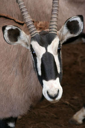 Portrait of a Gemsbok antelope from Africa Stock Photo - 3256747