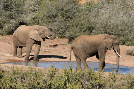 Two large African elephants drinking at a waterhole