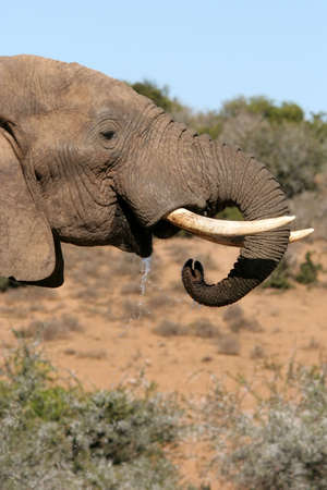 African elephant with large tusks drinking in the bush veld Stock Photo