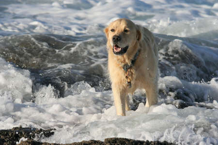 labrador teeth: Lovely labrador dog playing in the water at the beach Stock Photo