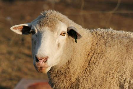 ewe: Marino ewe sheep looking at the camera