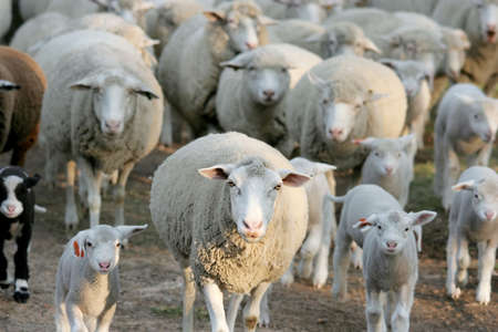 ungulates: Flock of sheep going home after a day in the field Stock Photo