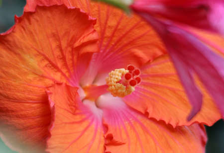 rosemallow: Beautiful tropical hibicus flower and green leaves backgroung