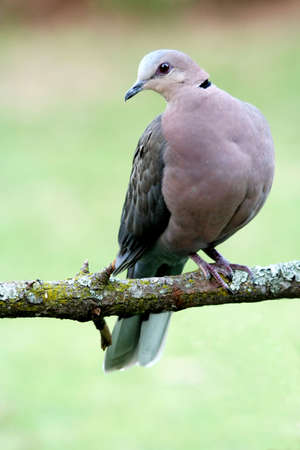 Rng necked dove sitting on a lichen covered branch Stock Photo - 3345788