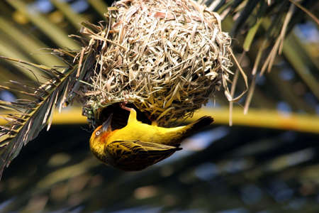 Yellow weaver bird at its nest trying to attract a mate photo
