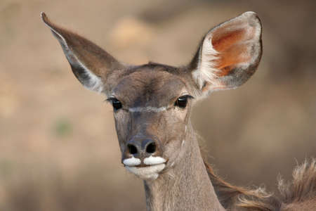 Alert kudu ewe antelope with its ears pricked photo