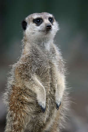 the sentry: Cute Meerkat o suricate de guardia