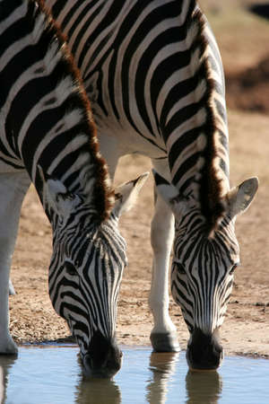 Two zebras quenching their thirst at a water hole in Africa