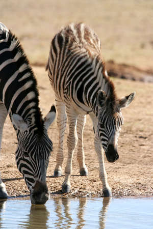 Young Burchells zebra watching it's mother drink water Stock Photo - 3382573