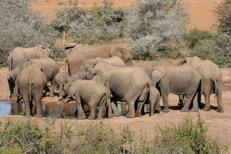 Herd of African Elephants drinking water at a pond in Africa