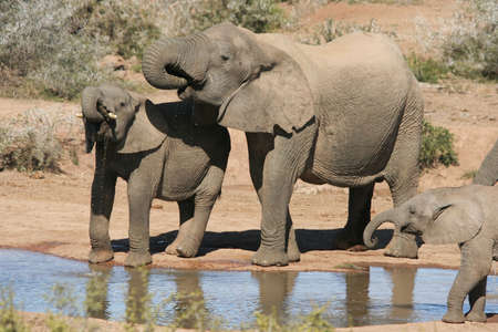 African Elephants drinking water at a river in Africa Stock Photo