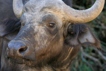 nostrils: Closeup of a Cape Buffalo which has been disturbed