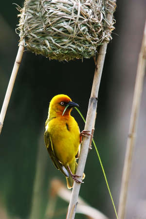 Beautiful yellow weaver bird with a blade of grass in its beak