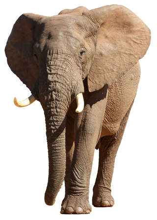 pachyderm: Large male African elephant isolated on white background