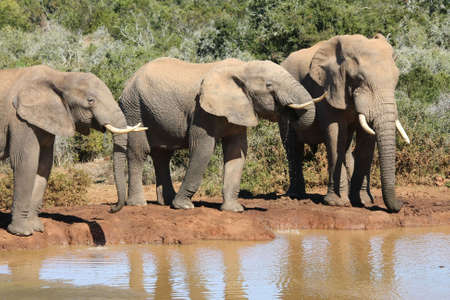 Three large African elephant bulls at a water hole Stock Photo