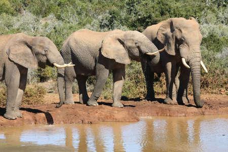 elephant�s: Tres grandes toros de elefante africano en un agujero de agua