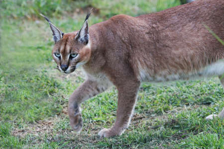 stalking: Caracal lynx cat from Africa stalking its prey Stock Photo