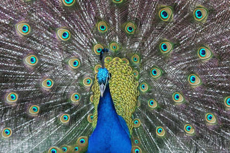Amazingly beautiful peacock in full display to its mate photo