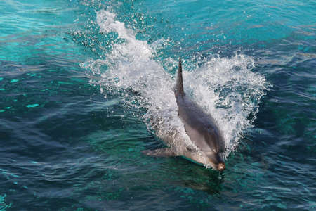 porpoise: Dolphin swimming fast and breaking the surface of the water