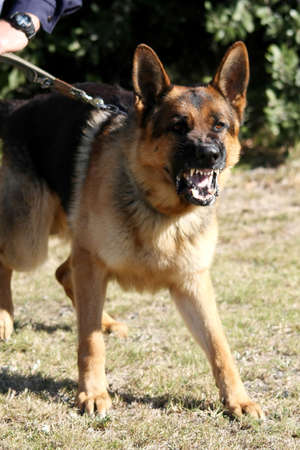 A vicious police dog baring its teeth and barking
