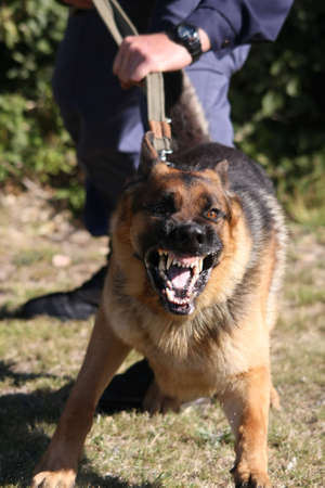 Angry police dog baring its teeth and being restrained by a policeman Stock Photo