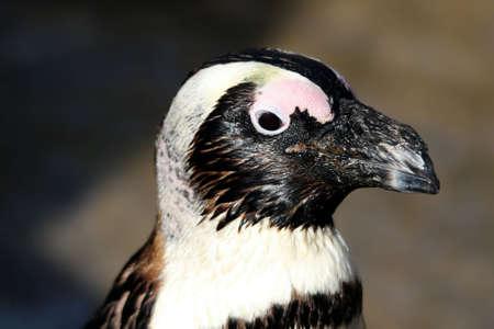 jackass: Portrait of a jackass or blackfooted penguin