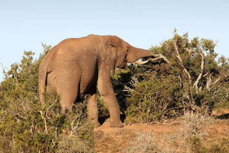 swallowing: Enormous male African elephant eating from a tree
