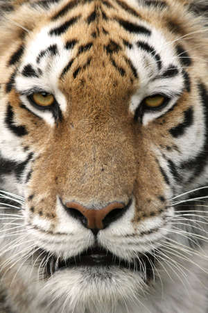 strikingly: Close up portrait of a strikingly beautiful tiger Stock Photo