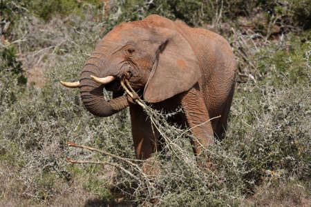 elephant nose: African elephant holding branches with its trunk as it eats