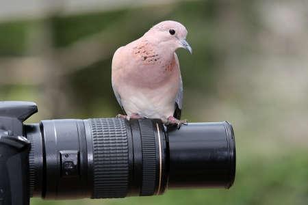black grip: Dove bird sitting on a photographers lens
