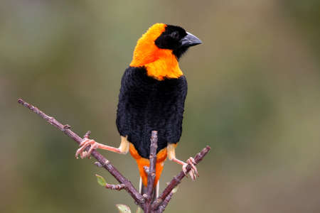 splayed: Striking orange and black bishop weaver bird perched on a forked branch