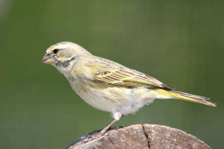 wild canary: Wild yellow canary bird perched on a log