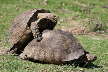 reproduction animal: Large mountain tortoises mating Stock Photo