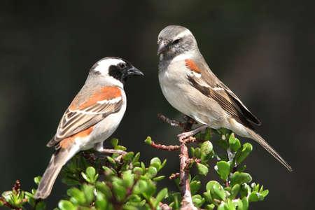 Pair of Cape Sparrow birds on top of a spekboom tree