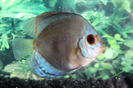 Beautiful discus fish swimming in an aquarium Stock Photo - 3859033