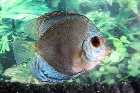 aequifasciatus: Beautiful discus fish swimming in an aquarium Stock Photo