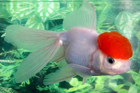 lionhead: White lionhead goldfish swimming in an aquarium Stock Photo