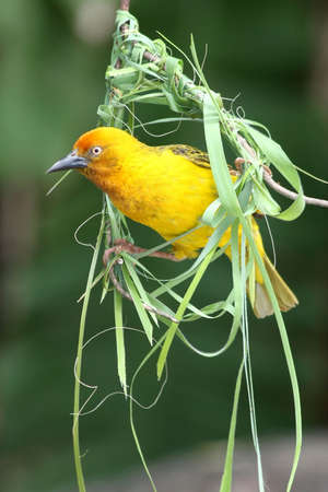 weaver: Cape weaver bird peering out of the beginnings of its nest Stock Photo