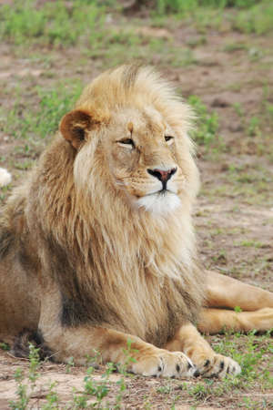 hansome: Hansome male lion with beautiful mane laying on grass Stock Photo