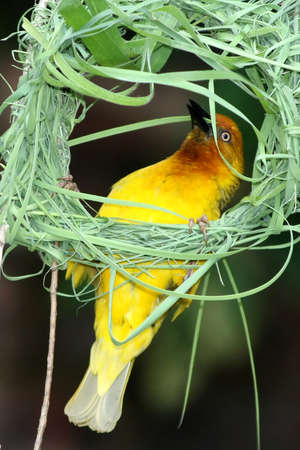 weaver bird: Yellow weaver bird busy building its woven grass nest