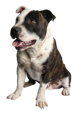 pure bred: Healthy black and white pure bred Staffordshire terrier dog