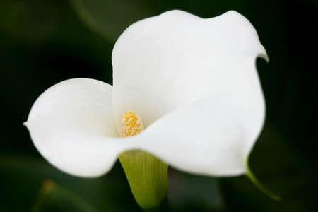 arum flower: Pretty white arum lily flower with yellow center