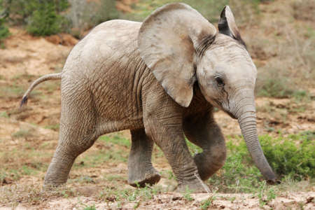 wildlife reserve: Playful baby African elephant running acroos the veld