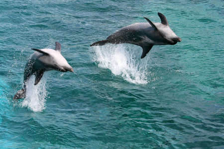 Two bottlenose dolphins jumping out of the water upside down photo