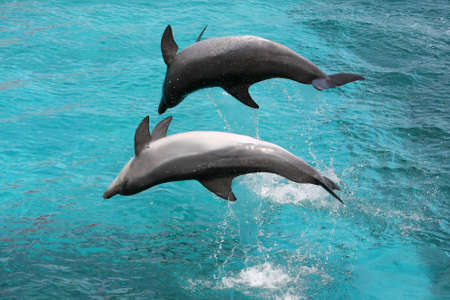 bottlenose: Bottlenose dolphins jumping out of the water up side down Stock Photo
