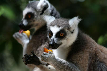 Two ring-taled lemurs eating fruit held in their hands photo